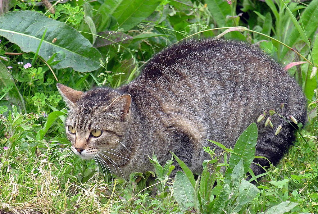 Autralia S Feral Cat Problems
