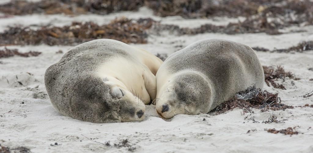 Seal Bay, Kangaroo Island, SA | Courtesy of Tourism Australia © Greg Snell