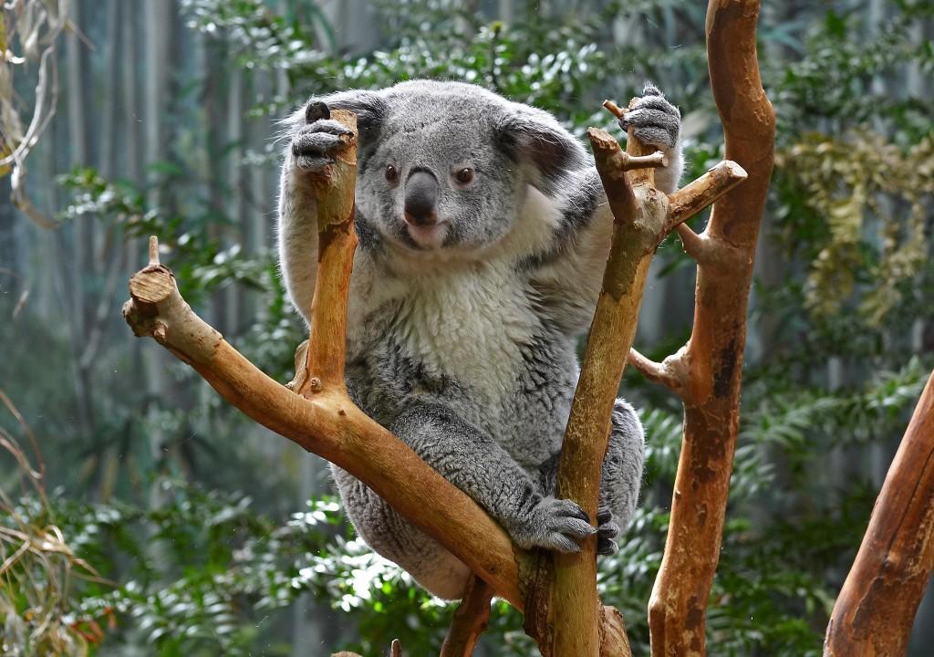 Koala | © LilyRose97 / Flickr