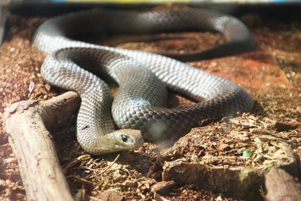 Eastern brown snake | © Takver / Flickr
