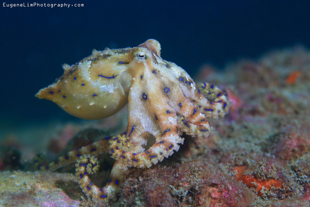 Cute But Deadly: 7 Facts About The Blue-Ringed Octopus
