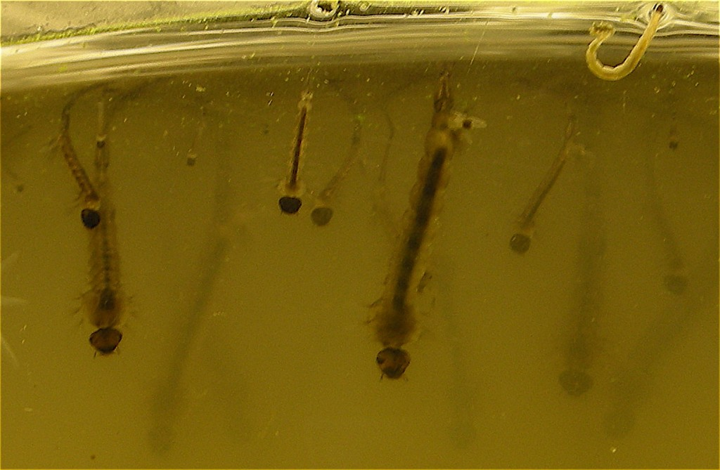 Mosquito larvae thrive in stagnant water | ©Enrique Dans/Flickr