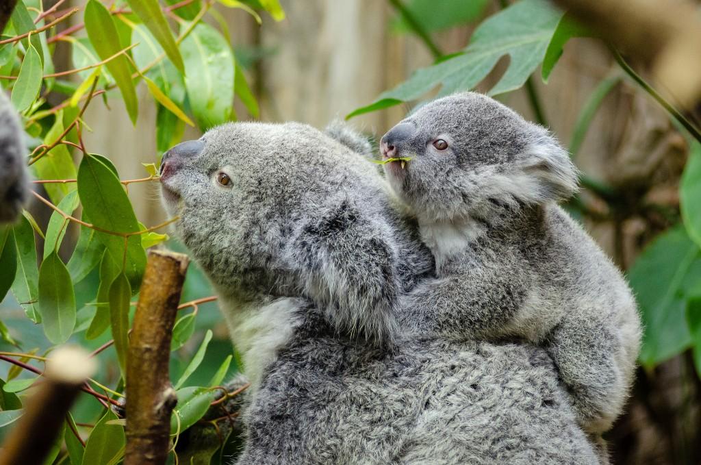 Koalas | © Mathias Appel / Flickr