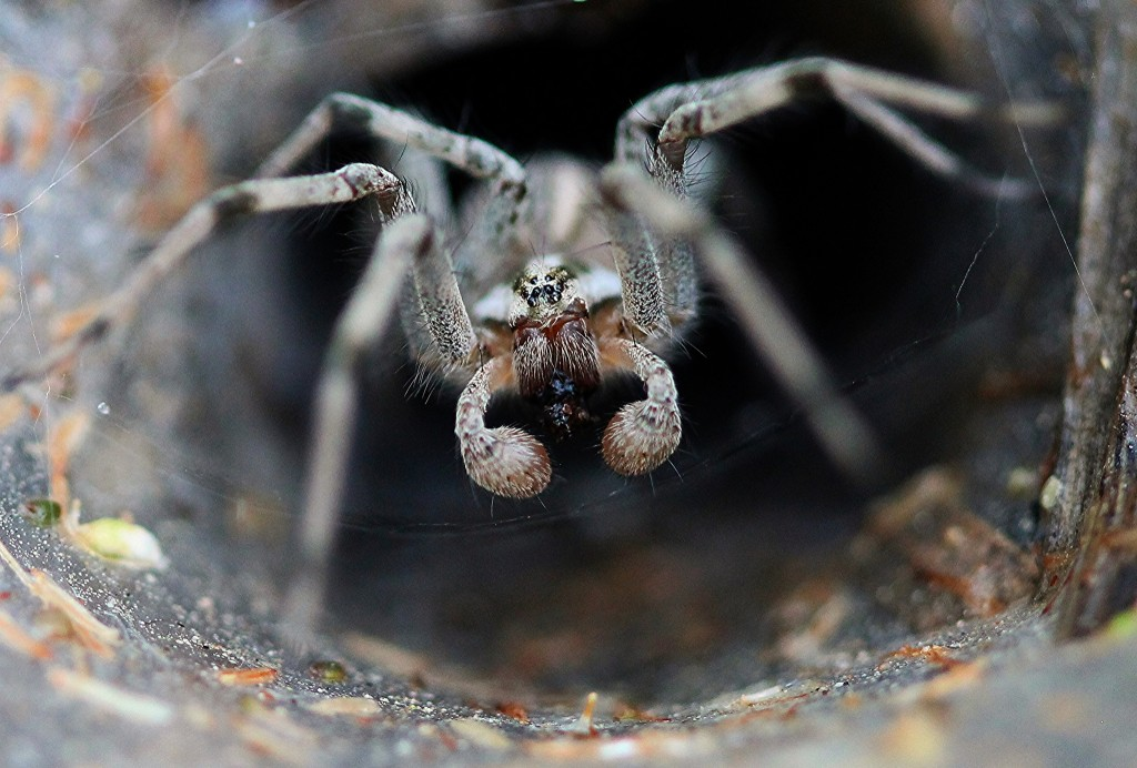 Funnel Web Spider | © Renee Grayson / Flickr