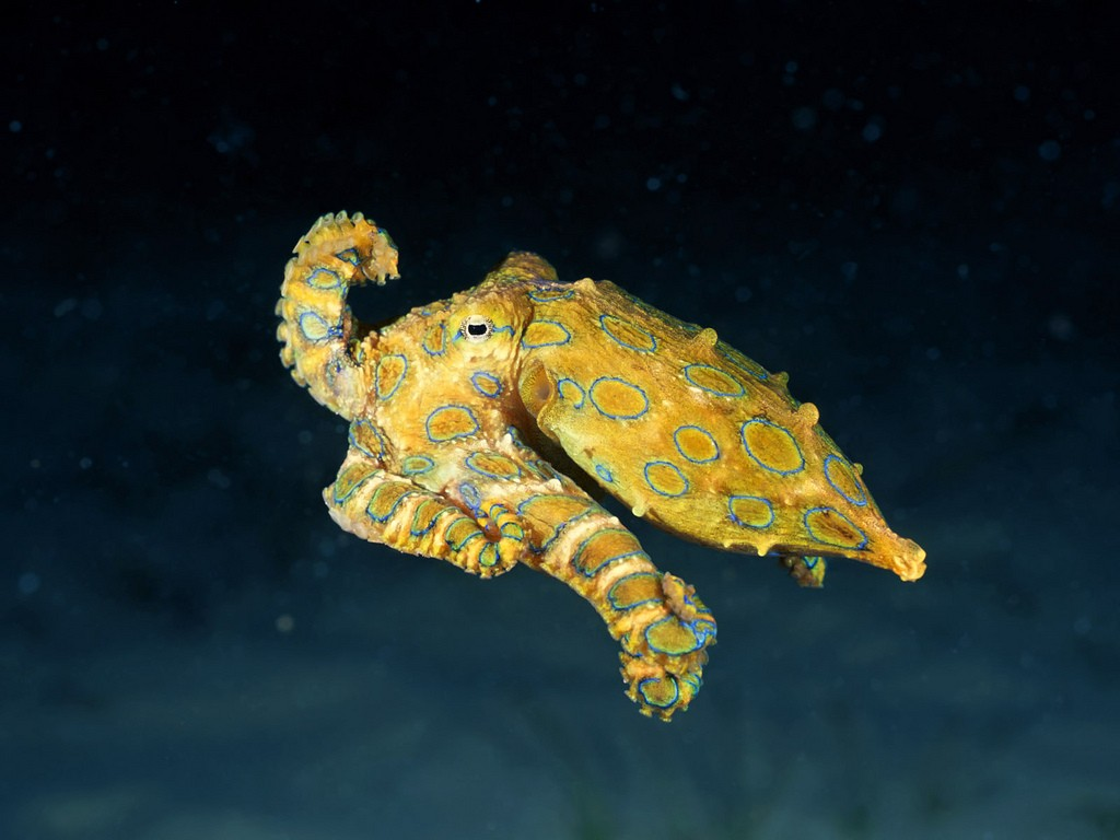 Blue-Ringed Octopus | © Angell Williams / Flickr
