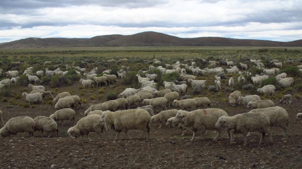 Sheep herding in Patagonia © Los viajes del Cangrejo/Flickr