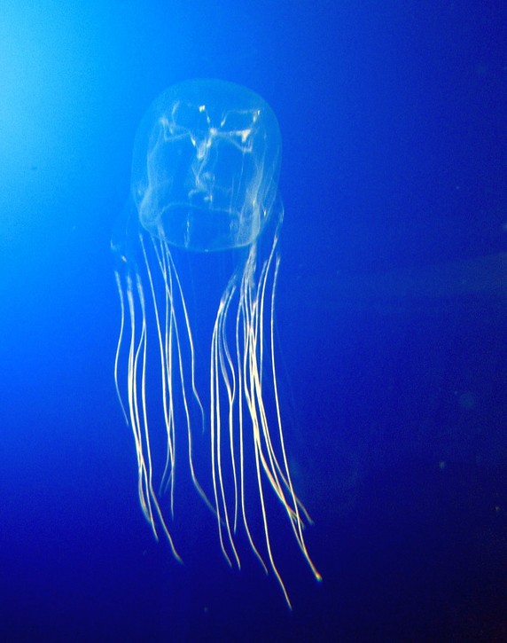Box Jellyfish | © Mithril / WikICommons