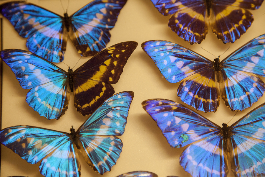 A Blue Morpho butterfly|©Trustees of Natural History Museum, London/NHM