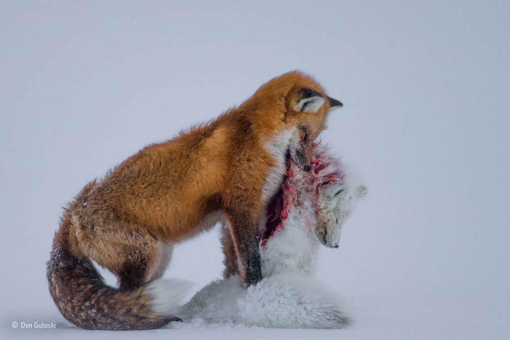 A tale of two foxes by Don Gutoski / Wildlife Photographer of the Year 2015.