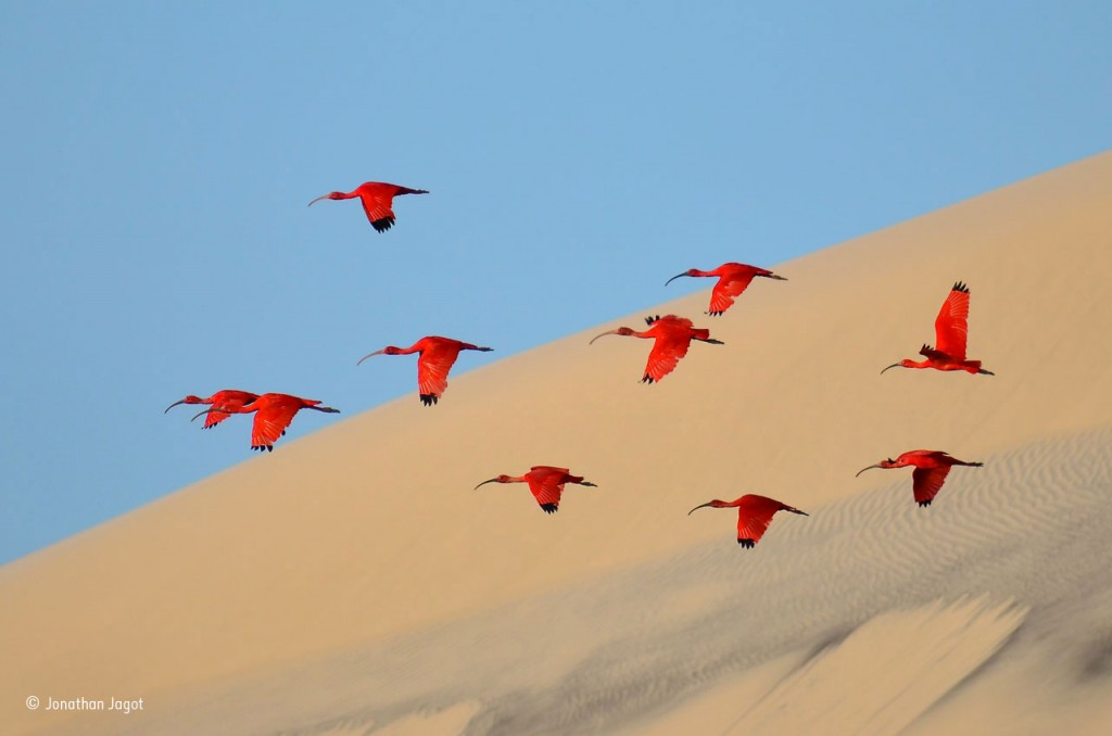 Flight of the scarlet ibis by Jonathan Jagot / Wildlife Photographer of the Year 2015.