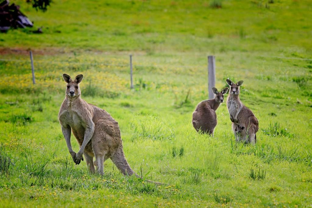 Kangaroos | © Holgi / Pixabay