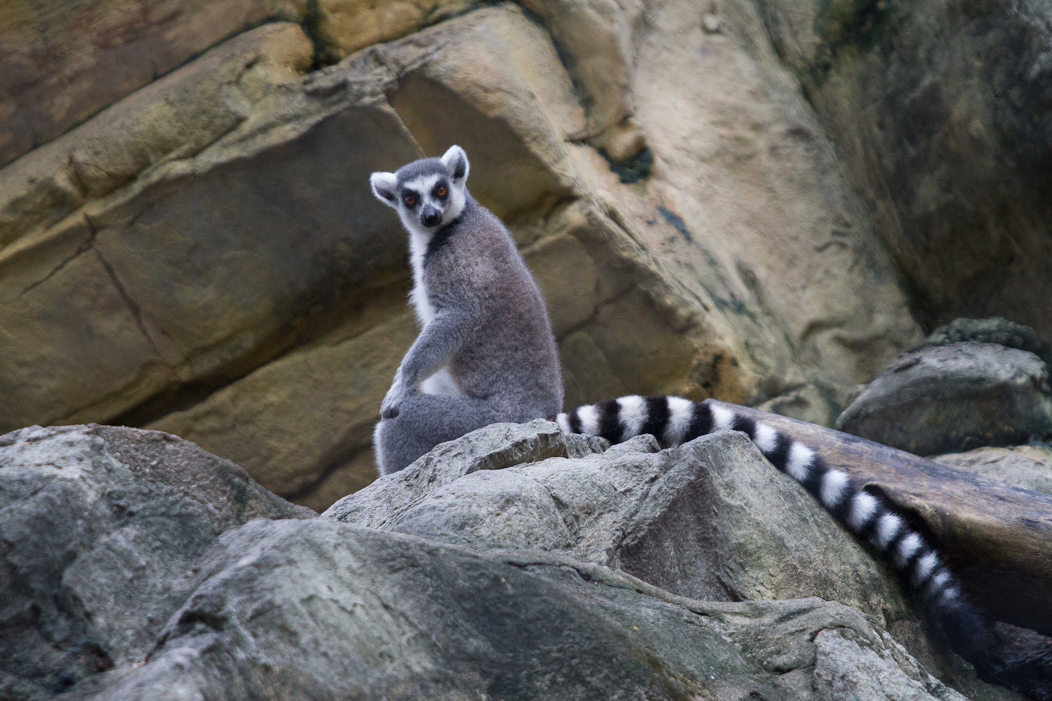 A ring-tailed lemur at the Hong Kong Zoological and Botanical Gardens | TimOve/CC BY 2.0/Flickr