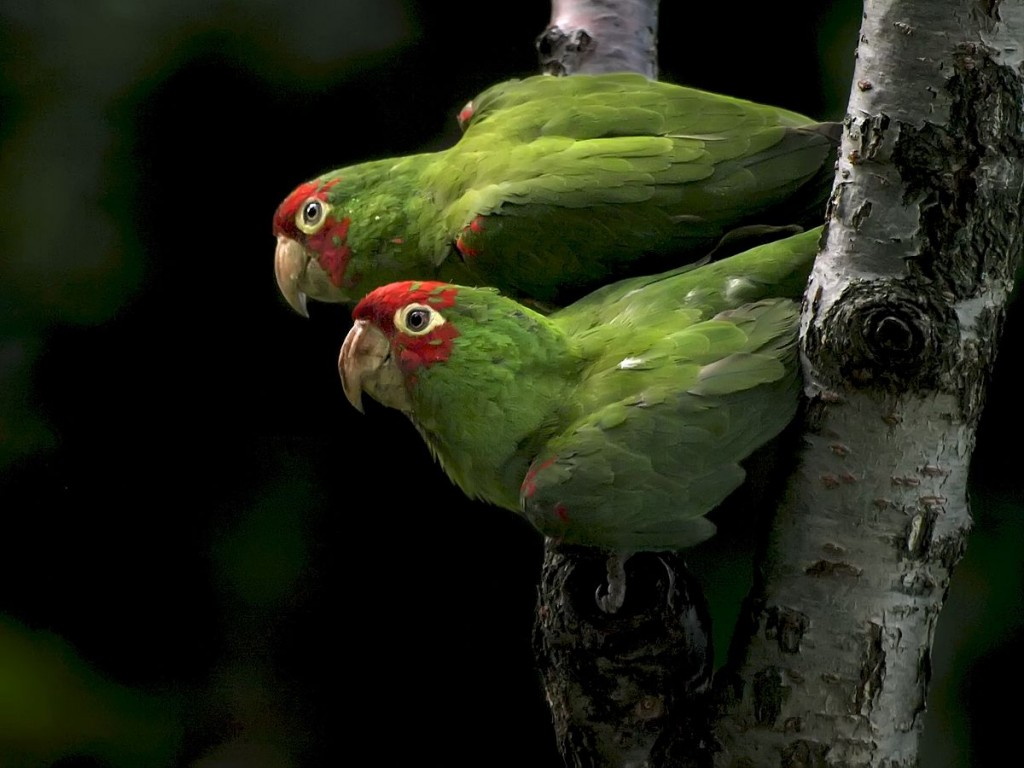SF Parrots © Ingrid Taylar/Wikipedia