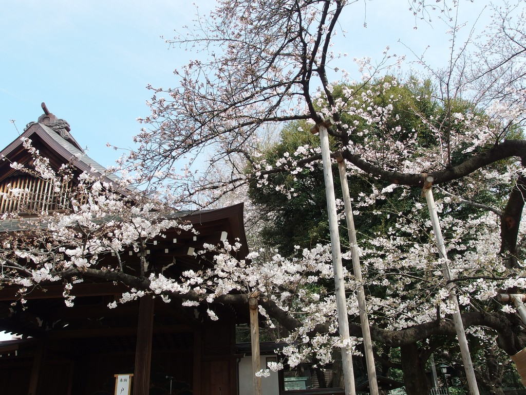 Sakura blooms at Yasukuni | © Guilhelm Vellut/Flickr