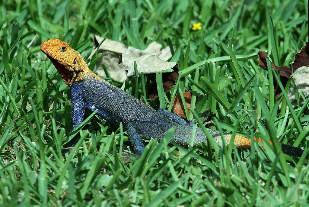 The African Rainbow Lizard at the Fairchild Tropical Garden | Alan Schmierer/Flickr