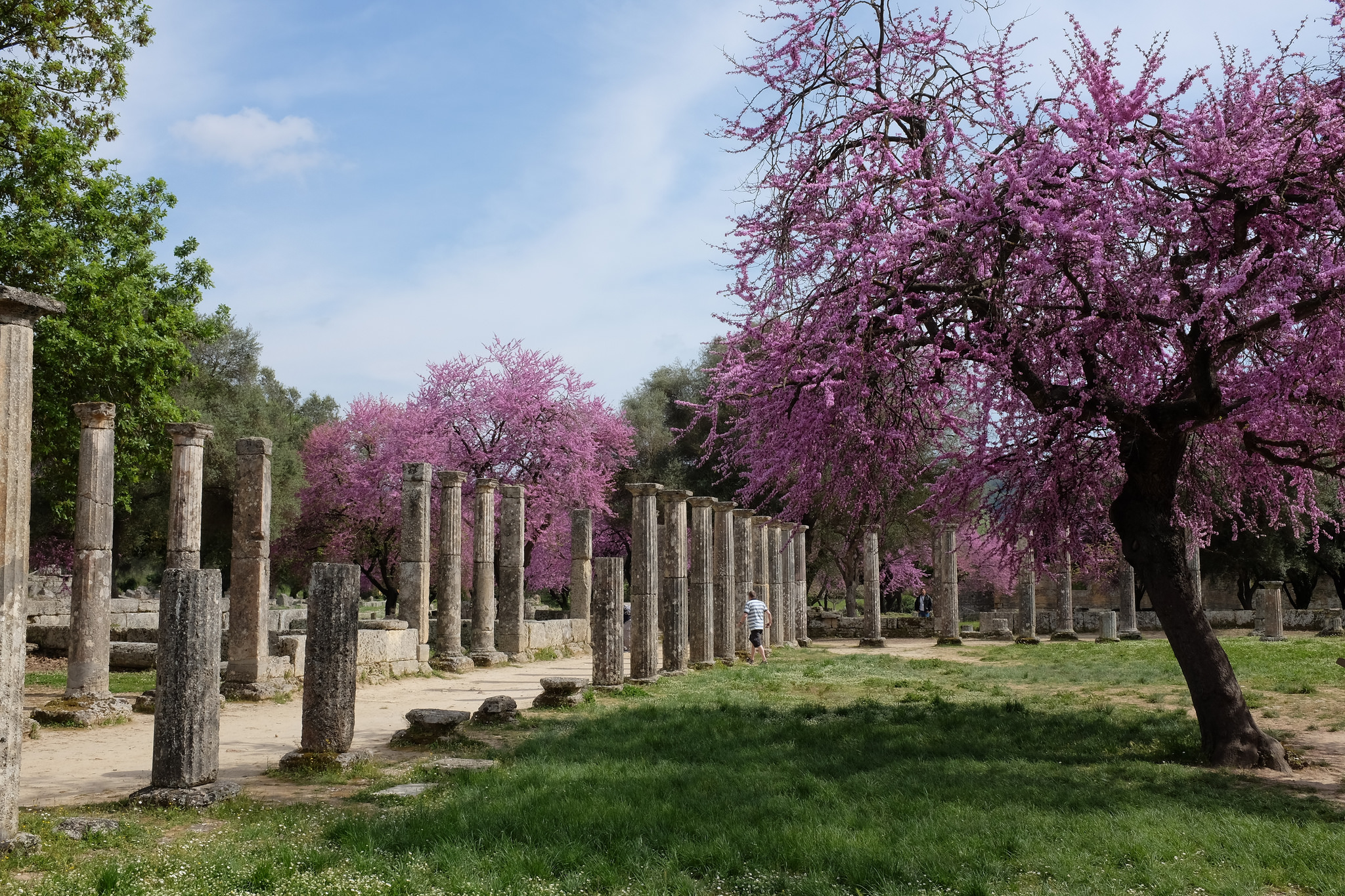 Cercis blooms in Olympia, Greece   © Kristoffer Trolle/Flickr
