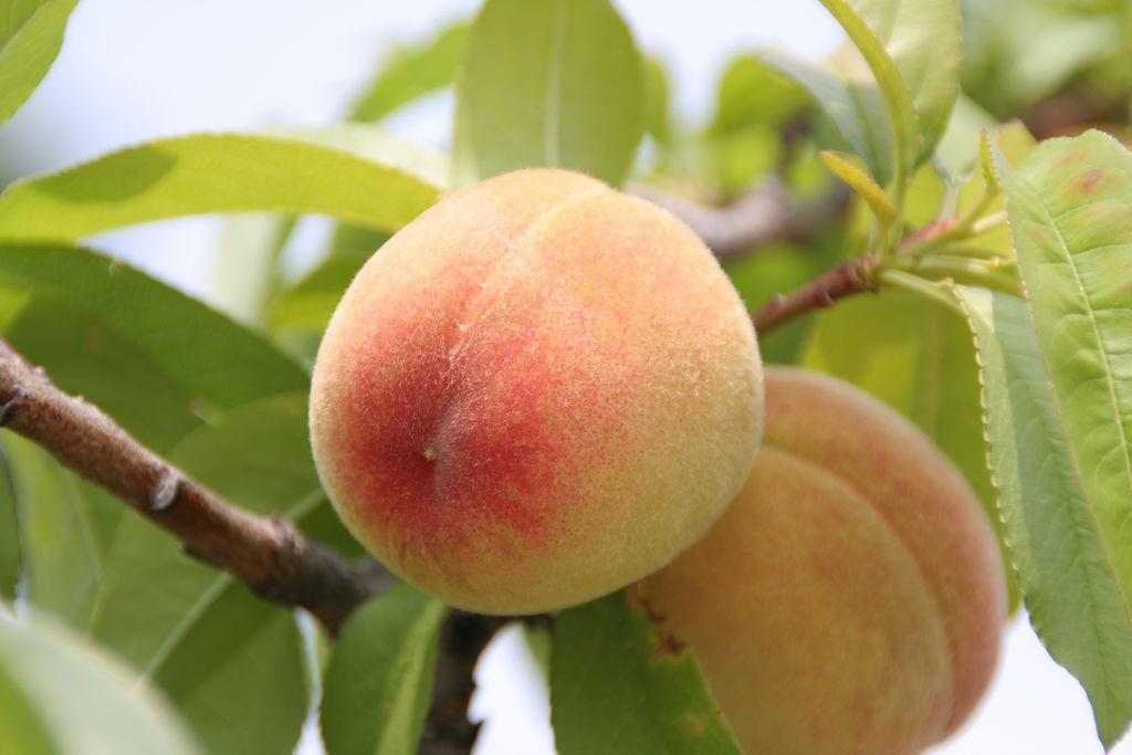 Japanese peaches | © skyseeker/Flickr