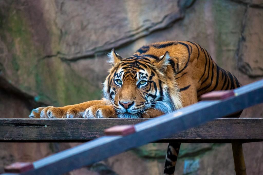 Tiger at Australia Zoo | © Andy Hay / Flickr