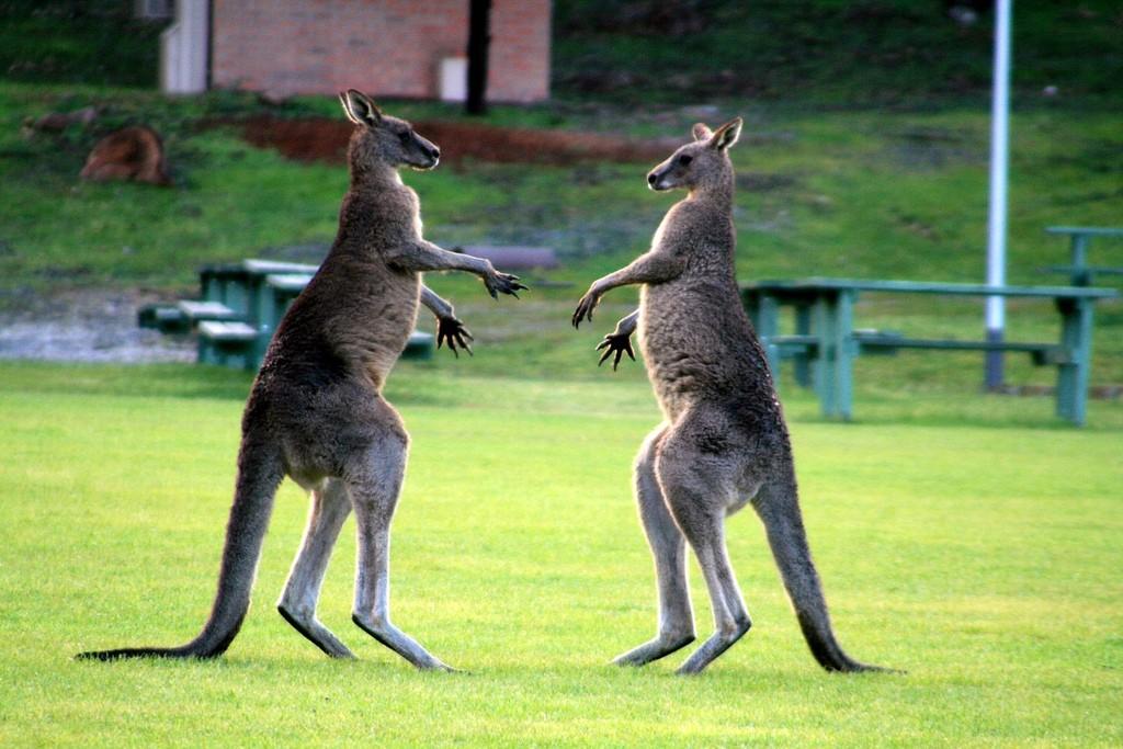 Fighting kangaroos | © Al Bee / Flickr