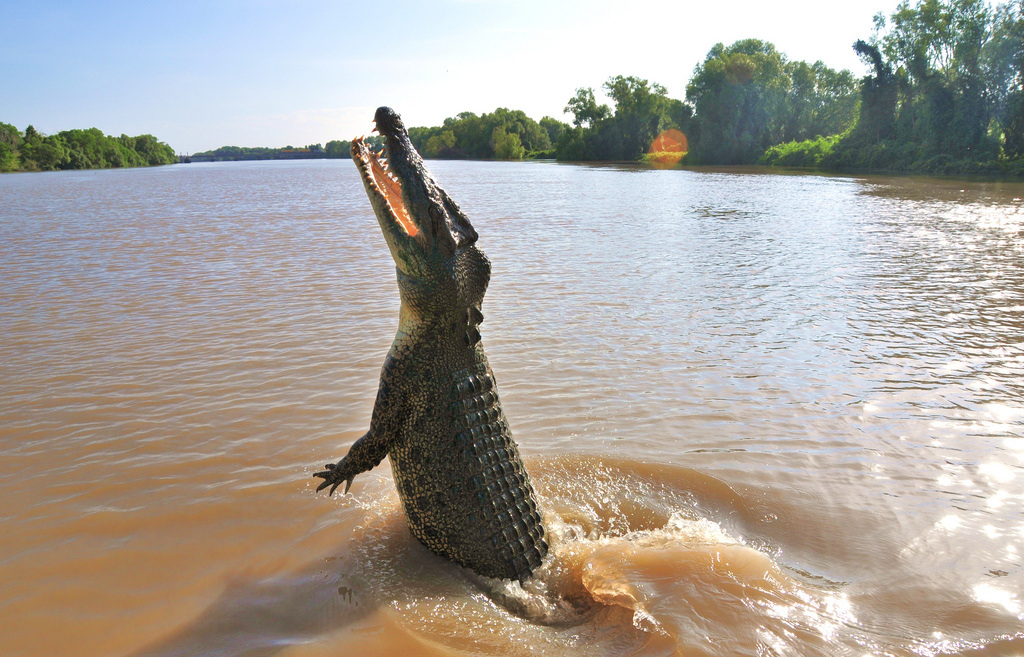 Fascinating Facts About The Australian Saltwater Crocodile