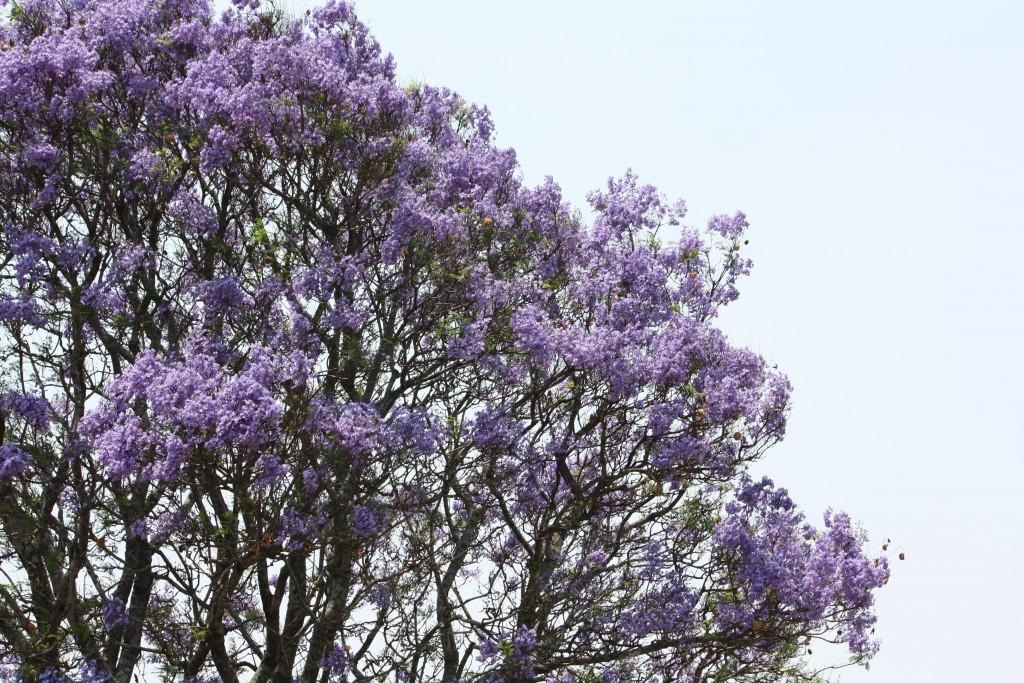 Jacaranda tree | © Senorhorst Jahnsen/Flickr