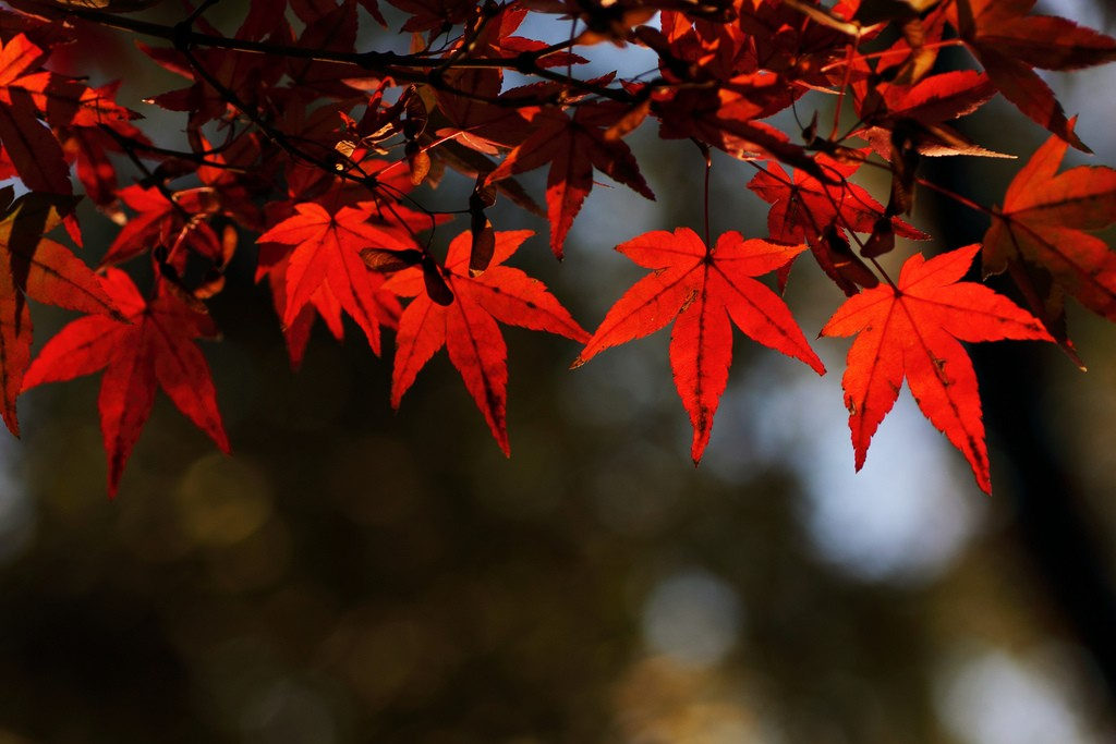 Japanese maple leaves in autumn at Ueno Park | © t-mizo/Flickr