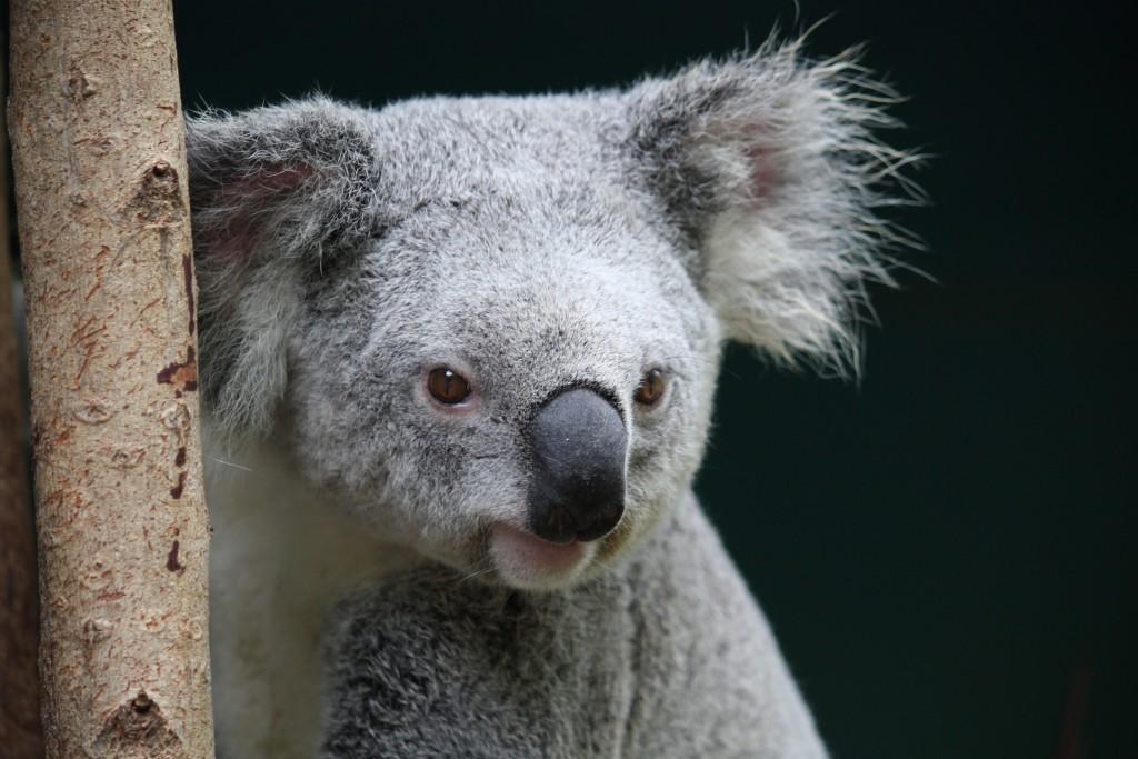 Koala at Australia Zoo | © craigles75 / Flickr