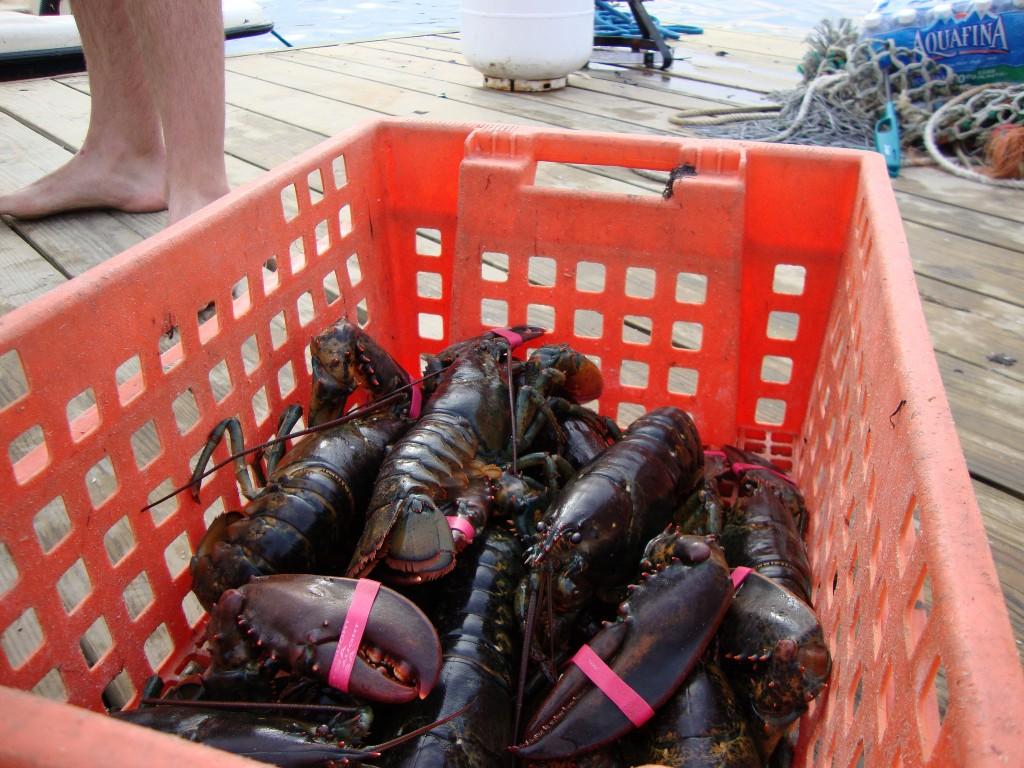 Lobsters at Island Creek Oyster Farm|© Erin B Murray/Flickr