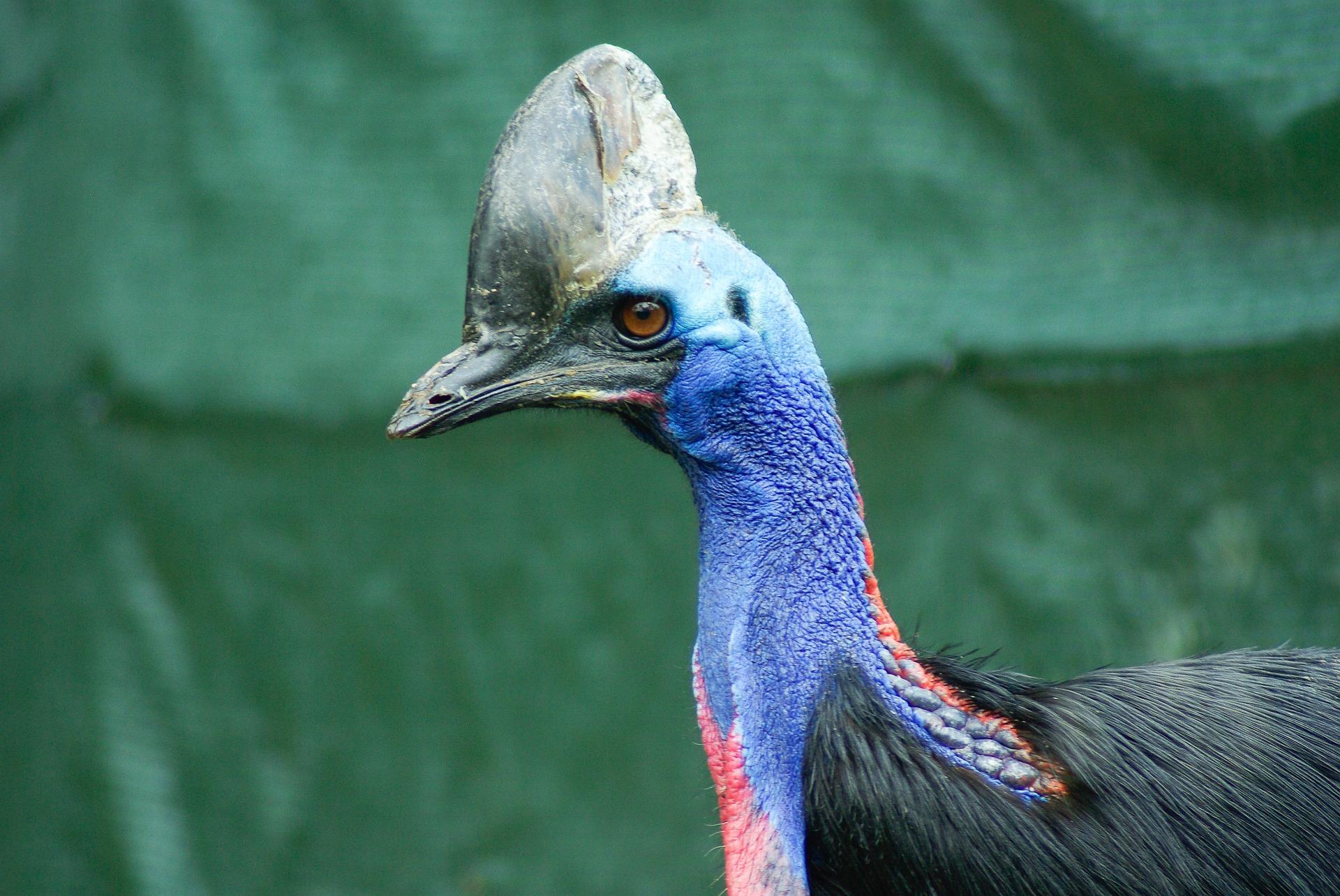 World S Most Dangerous Bird 7 Facts About The Cassowary