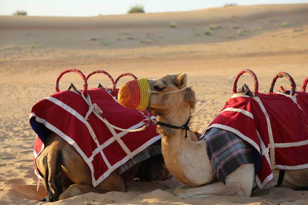 Camels   © chidioc/Pixabay