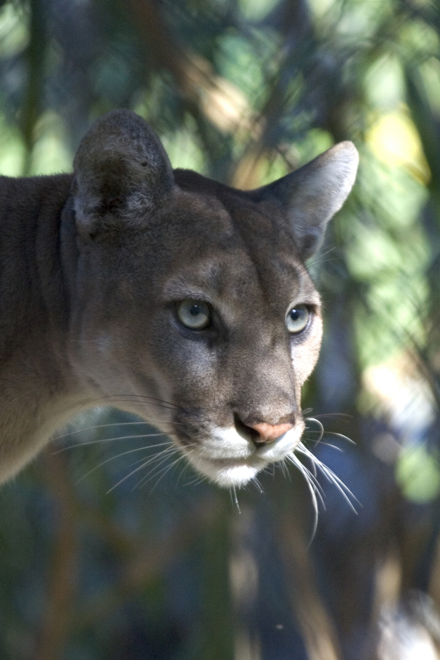 The Florida Panther is a rare and majestic species, native to the Florida Everglades