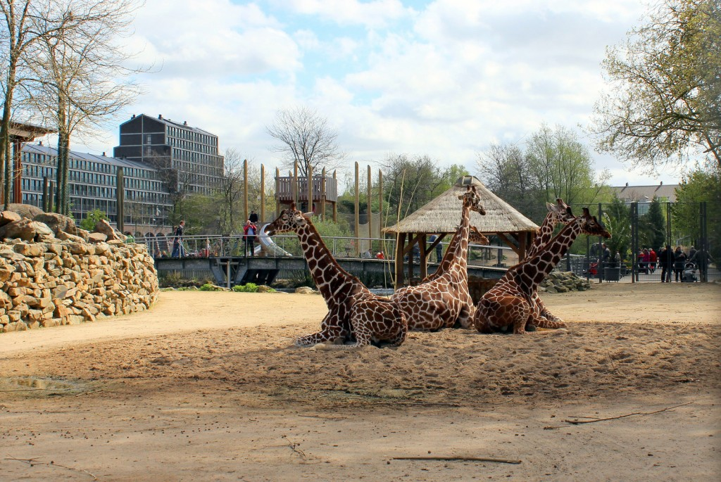 Giraffes at Artis Zoo | © Roar-Roar / Flickr