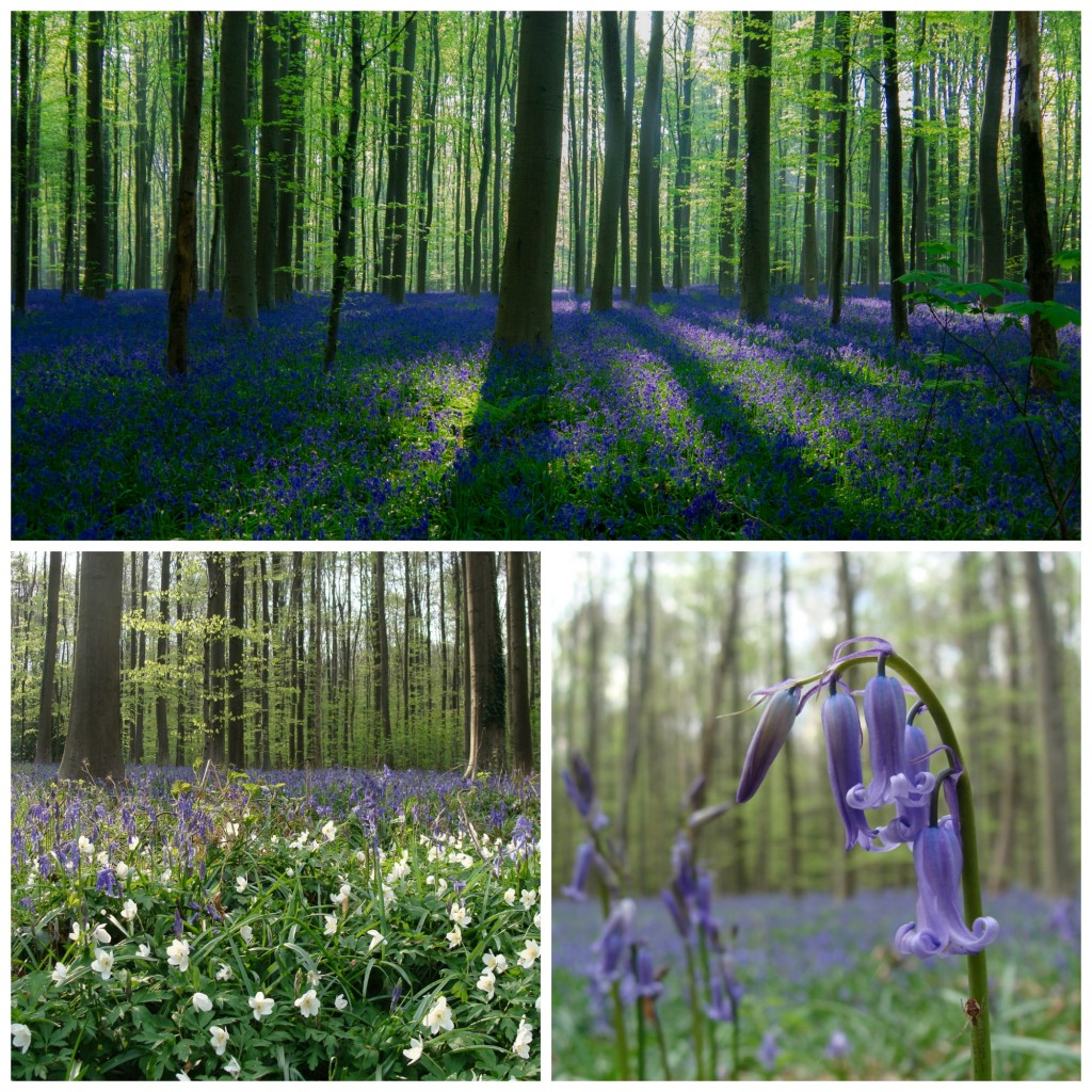 (Top)Bluebell wood, rising sun|Christophe Couckuyt/Flickr/ (Bottom left) Hallerbos in the spring | ines s./Flickr/(Bottom right) An up-close shot of the bluebell | ines s./Flickr