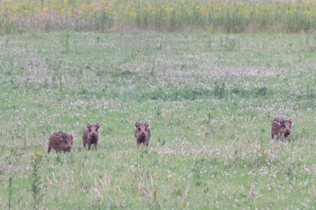 Wild boar in de Veluwe | © Supercarwaar/ Wikicommons