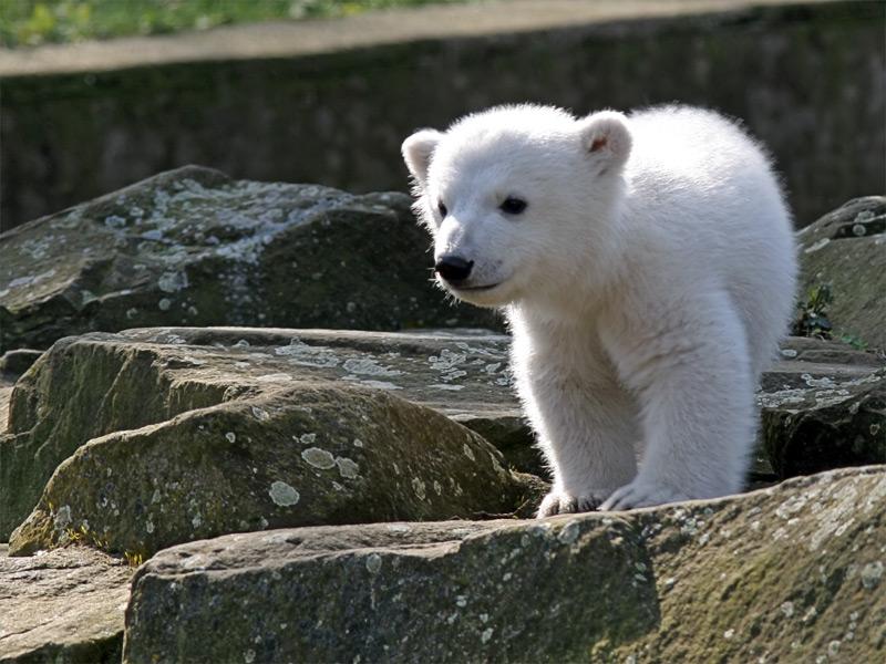 Knut | © Jensk369 (Jens Koßmagk)/WikiCommons