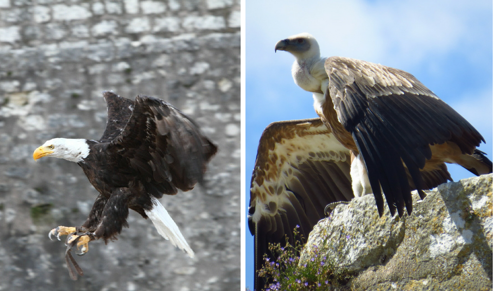 Left, Les Aigles des Remparts B@rberousse/Flickr | Right, Vulture © Bruno/Flickr