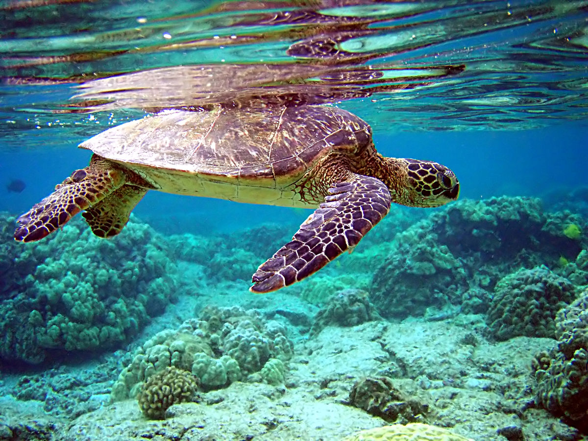 Green sea turtle | © Brocken Inaglory/Wikicommons