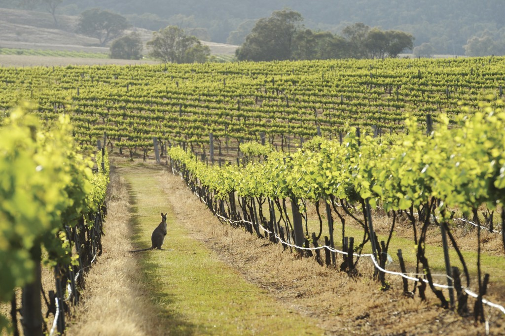 Kangaroo in a Mudgee vineyard. | © Amber Hooper