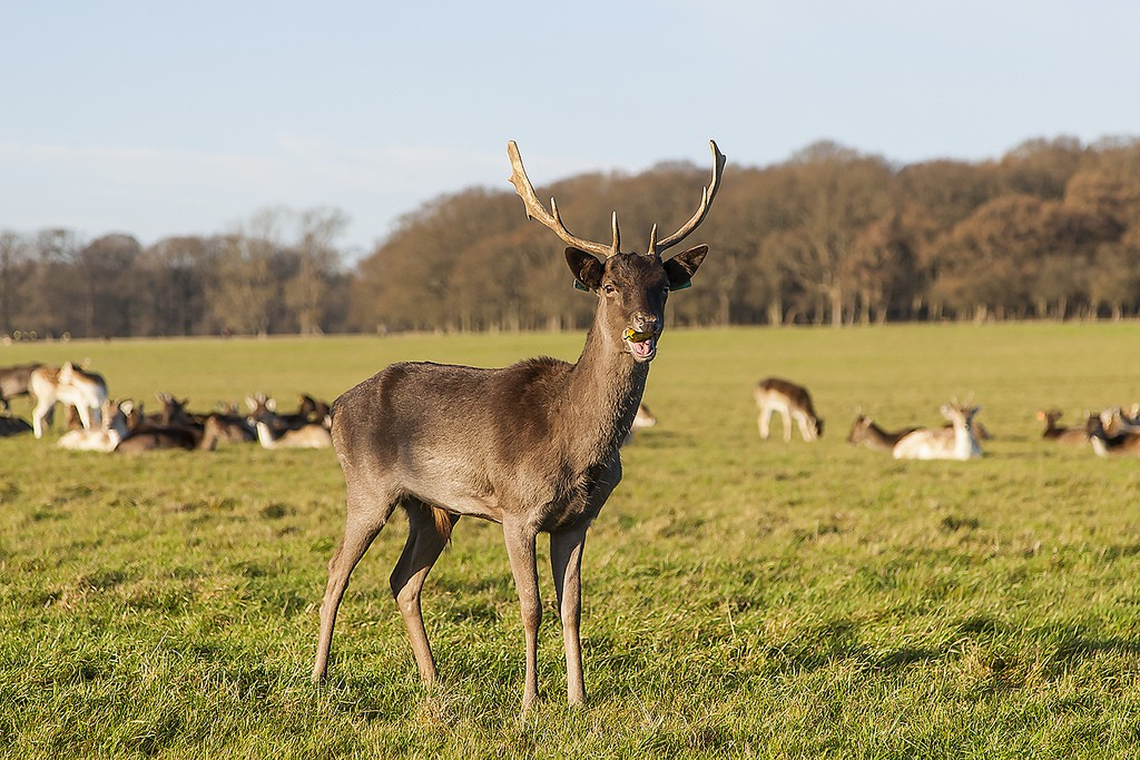 Phoenix Park deer | © Greg Clarke/Flickr