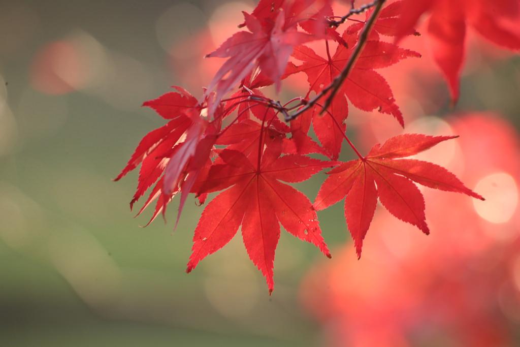 Maples | © Henry Hemming/Flickr