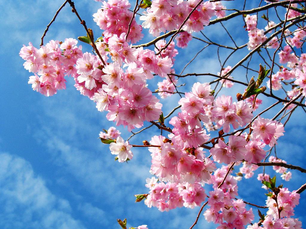 Cherry blossoms © lisa borbély/Flickr