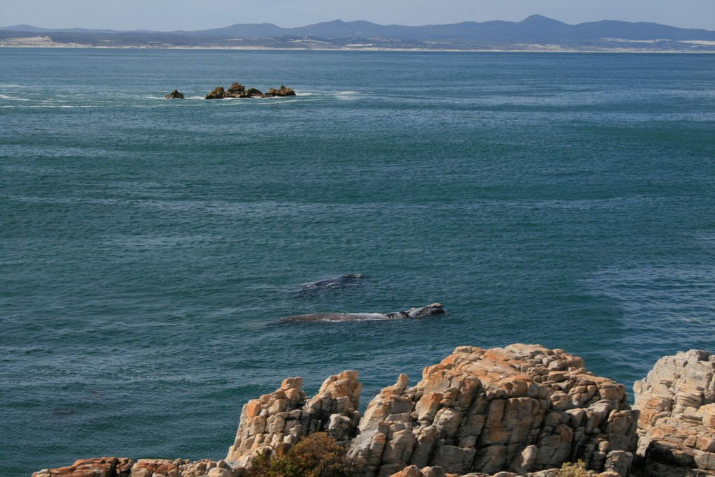 Whales in the bay, Hermanus © Confluence/Flickr