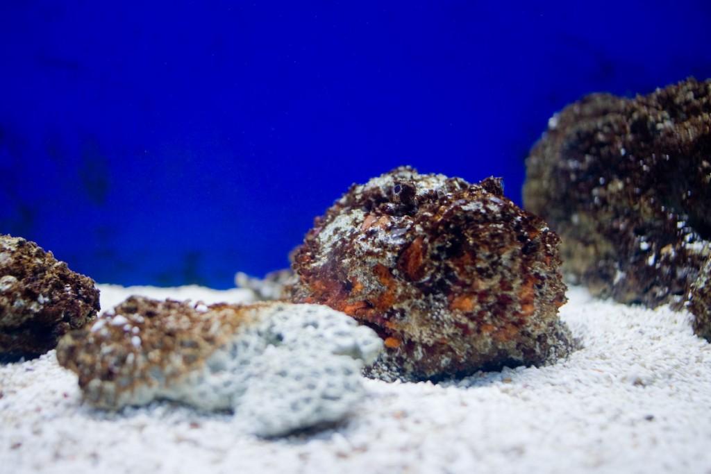 Stonefish   © Kenneth Lu / Flickr