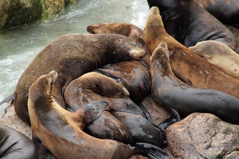 Sea lions on Farallon Islands © U.S. Fish and Wildlife Service Headquarters/Flickr