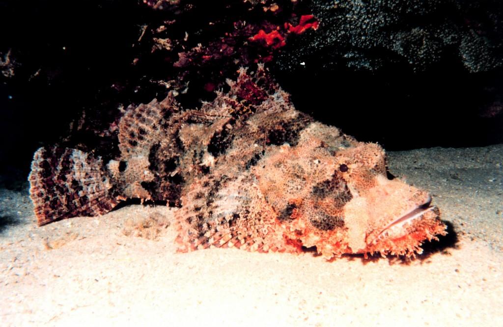 Stonefish   © NOAA Photo Library / Flickr
