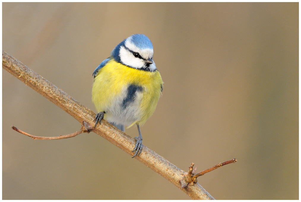 Blue Tit at the Réserve Ornithologique in Bois de Vincennes│© Jean-Jacques Boujot