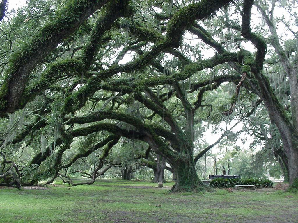 Oak trees at New Orleans' City Park   © Druszaj/WikiCommons