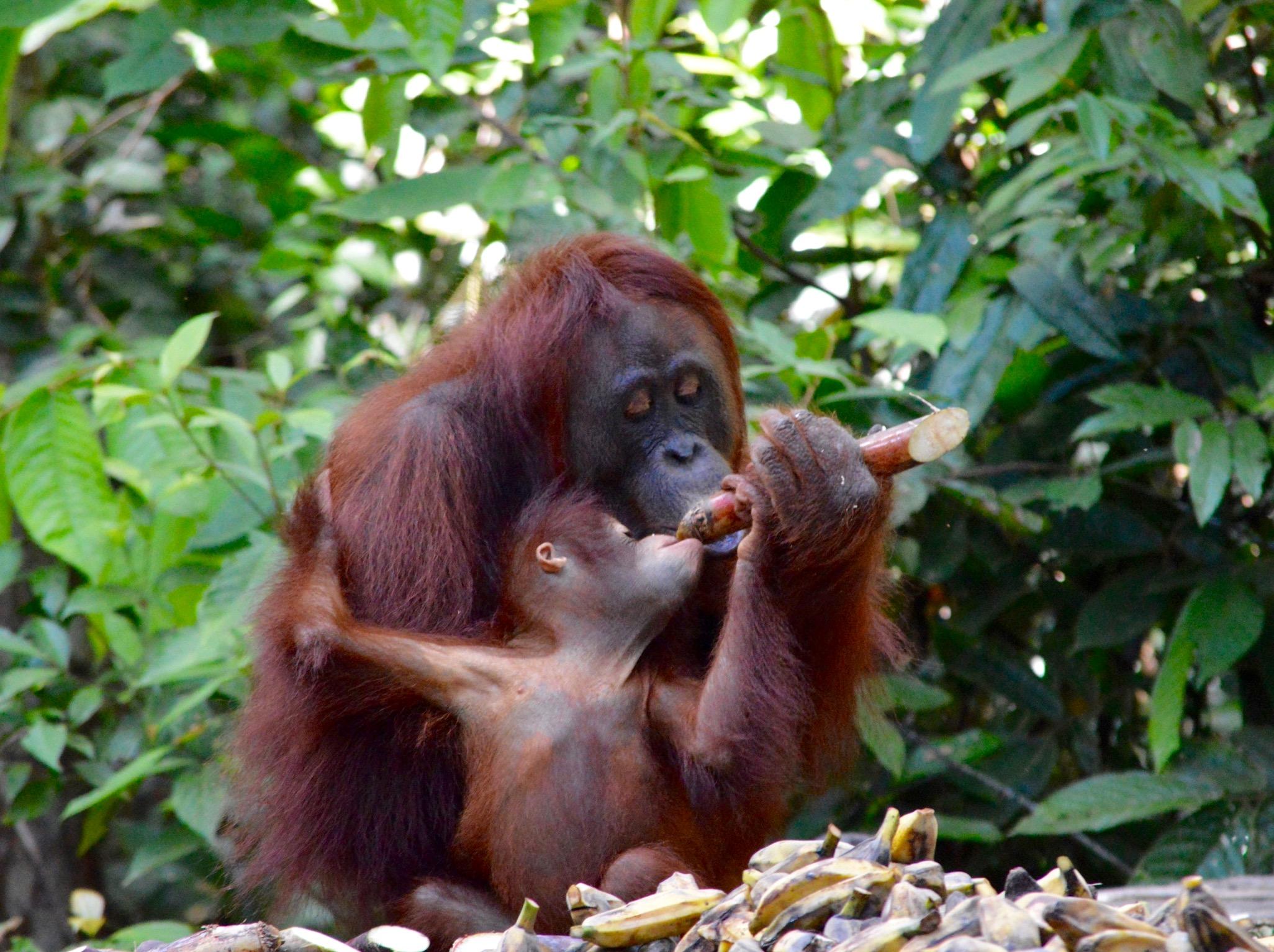 Borneo Orangutans | © Nikki Vargas