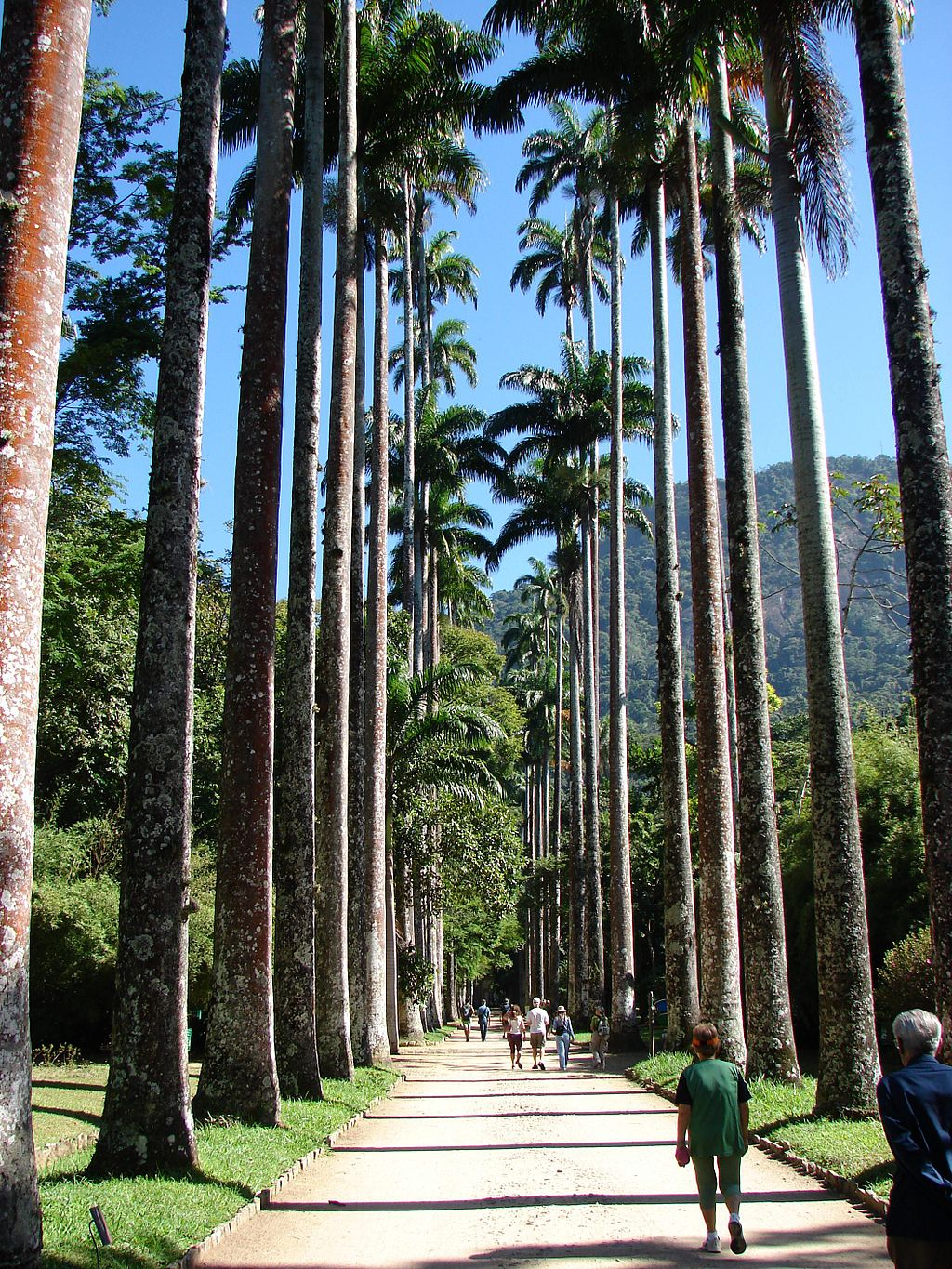 The most iconic line of trees in the Botanical Gardens in Rio |© Zimbres/WikiCommons