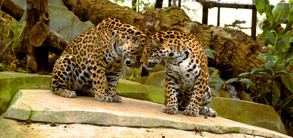 Jaguars at the Parc Zoologique de Paris│© CECILE BOXBERGER
